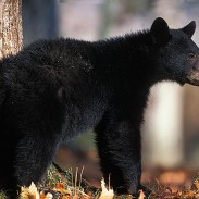 One New Jersey bear got evicted after wildlife officials found him living in a crawl space.