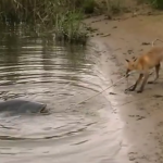 catfish fox