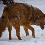 Eastern coyotes are slightly larger than their Western counterparts, a sign of their mixed wolf ancestry.