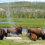 Several Yellowstone bison feed near a hot spring.