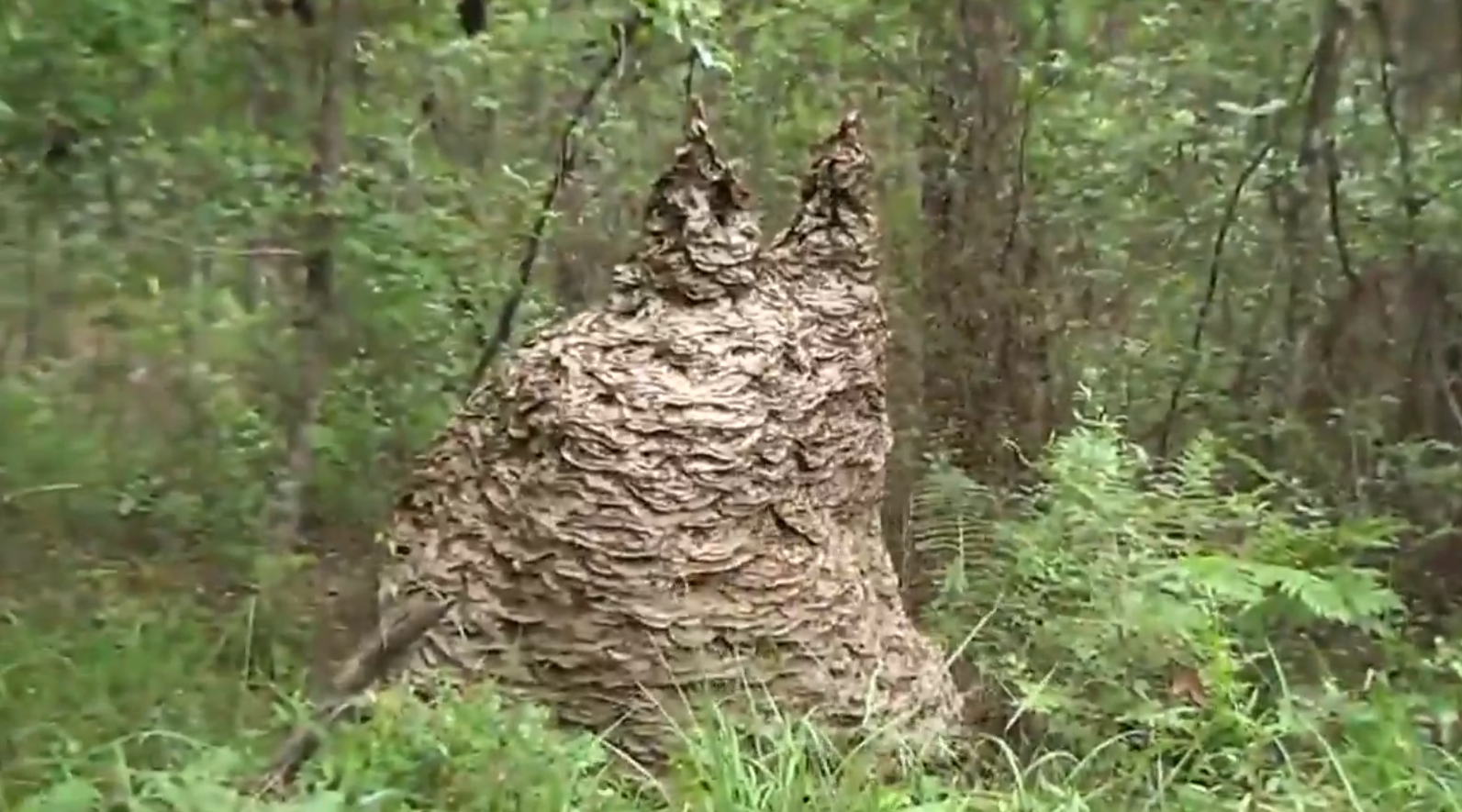 Video: Riling a Giant Yellow Jacket Nest | OutdoorHub