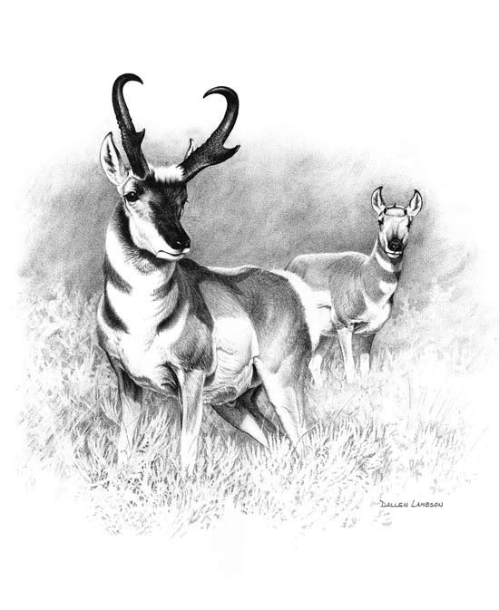 how to draw a baby antelope