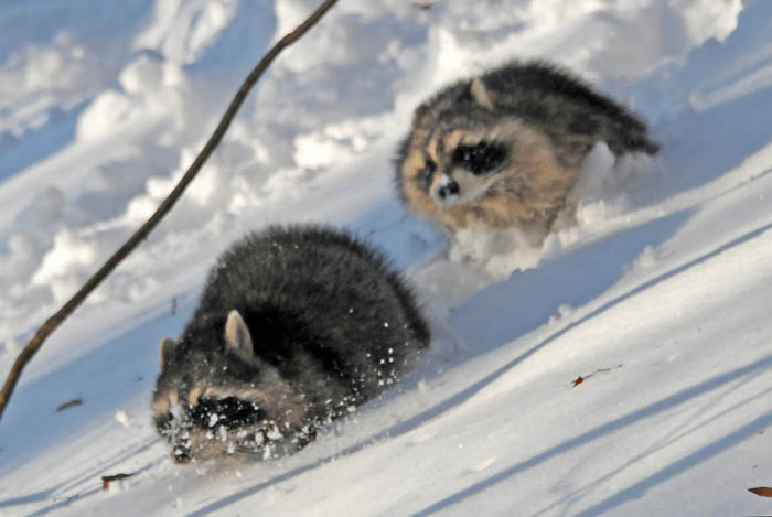 Two raccoons run through the snow after being called from their den inside an old oak tree.