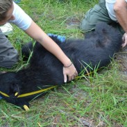 FWC biologists measuring and tracking a tranquilized black bear.