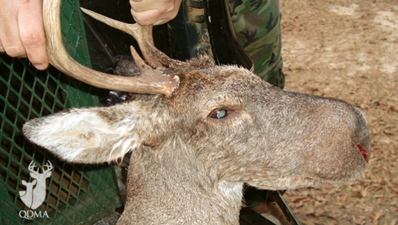 A picture of this strange deer was submitted to QDMA shortly after it was harvested.