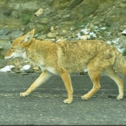 Residents of Bloomfield, Colorado are encouraged to make coyotes feel unwelcome.