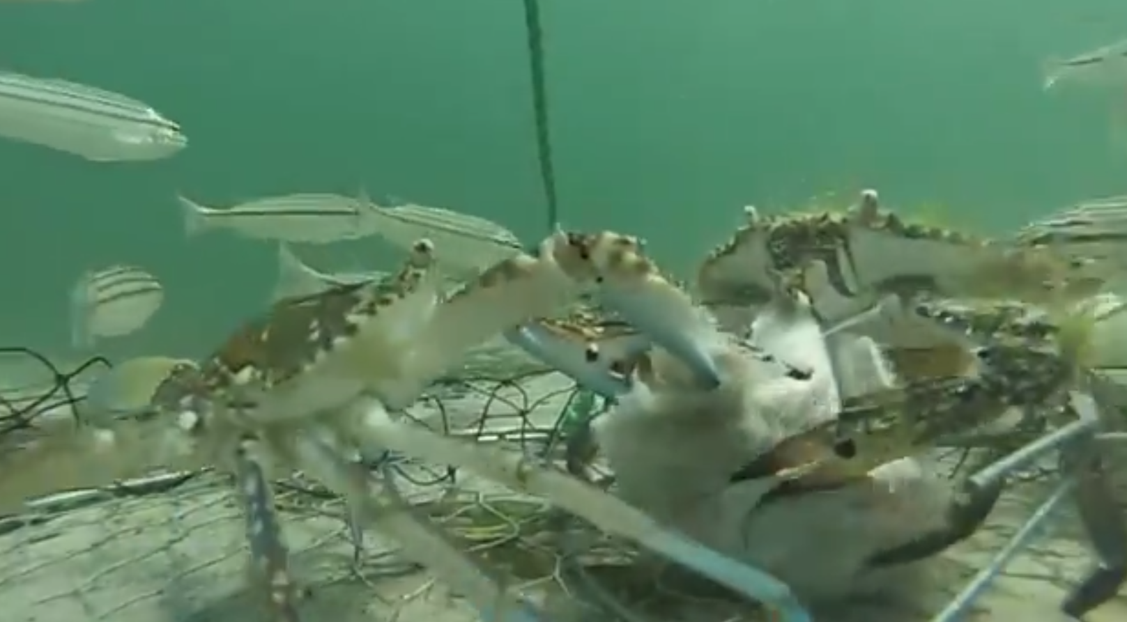Video crabs battle over fish bait outdoorhub for Battle fish 2