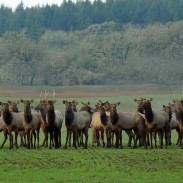 Wildlife experts say that wildfires and wolves have changed how elk populations behave.