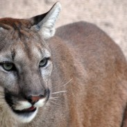 One mountain lion and his prey took a tumble onto some snowmobilers in South Dakota.