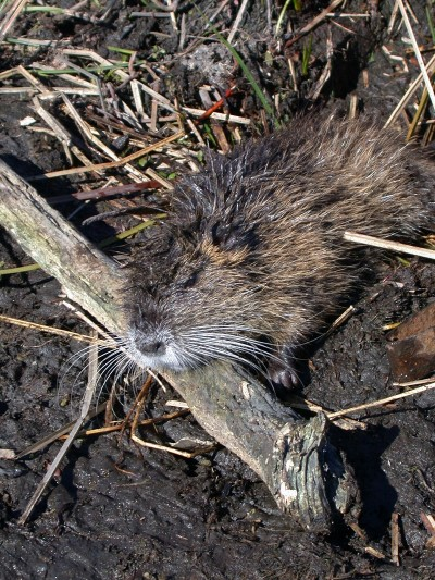 The semi-aquatic rodent nutria found along the Mississippi and Louisiana coasts look somewhat like an overgrown rat or muskrat and are destroying about 100,000 acres of marsh grass yearly.
