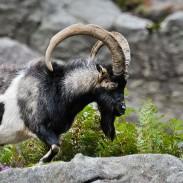 800px-Feral_Goat_Glendalough