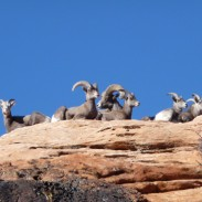 Zion National Park may be shipping out some of its bighorn sheep to help restore populations elsewhere.