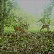 Deer and other wildlife flock to chestnut trees.