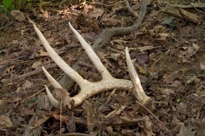 antler shed, deer sheds