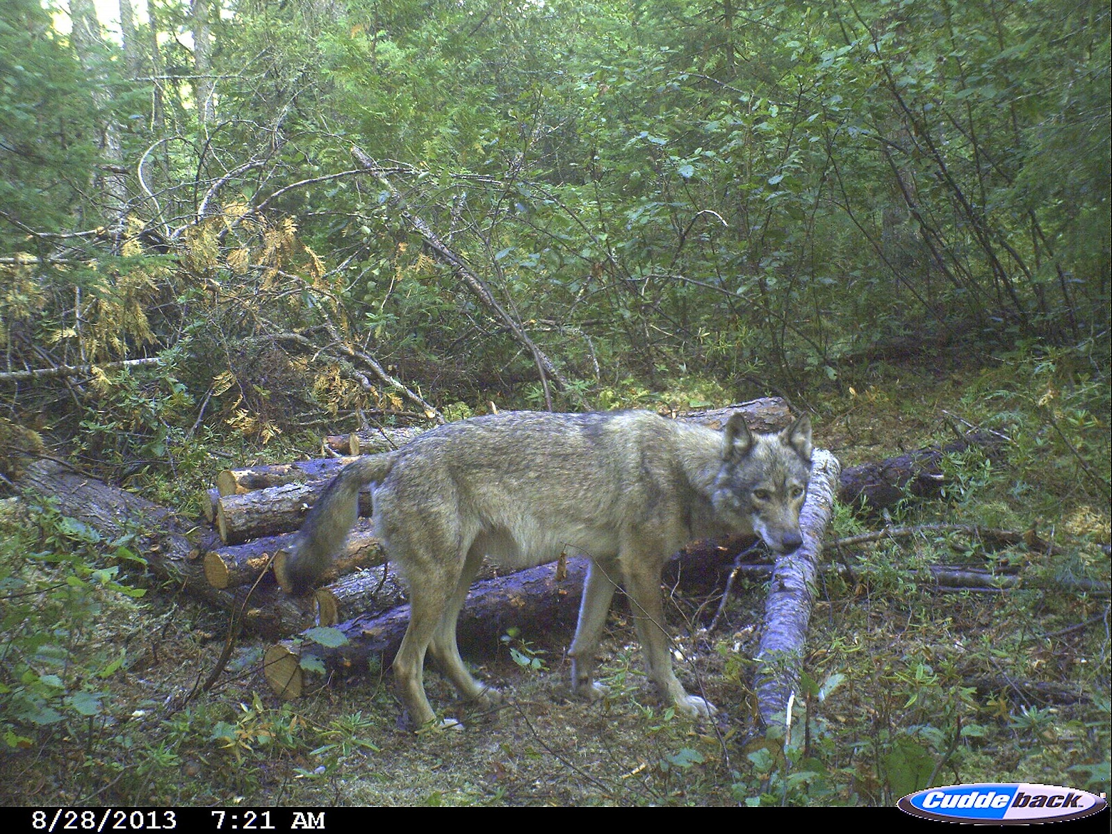 Take Advantage Of Expanding Wolf Hunting Opportunities