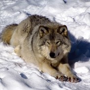 The eastern wolf is thought by some to be a hybrid species, while others say it is a subspecies of the gray wolf.