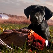 Plenty of popular breeds will appear at the National Pheasant Fest, but some rarer breeds are expected to show up as well.