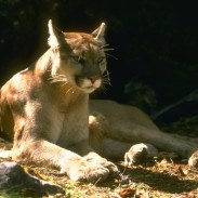 California game wardens say a homeless man was attacked in his camp by a mountain lion last week.