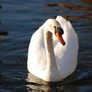 New York officials are taking action against the state's population of mute swans.