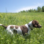 Pete, a liver-colored Brittany spaniel and all-around good dog.