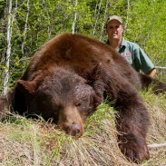 This beautiful cinnamon color-phase Saskatchewan bear was shot at Marshland Outfitters in the spring of 2013.