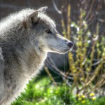 The gray wolf was removed from the Endangered Species List in 2011 in the state of Idaho. Lawmakers are now considering new management actions.