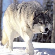 New hunting changes and a bill to fund wolf management in Idaho have animal rights advocates howling.