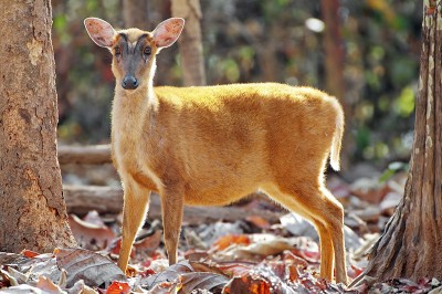A file image of the Indian muntjac, closely related to the recently rediscovered Roosevelt's muntjac.