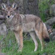 Coyotes are proving to be elusive in Delaware, with only one animal reported harvested in the state's inaugural (and brief) season.