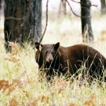 After decades of eating human food, Yosemite's black bears have decided switched to a more natural diet thanks to the introduction of bear-proof containers.