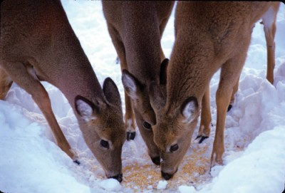 Deer in northern Minnesota will soon be chowing down on feed, but wildlife officials are concerned that the deer gatherings will promote disease.