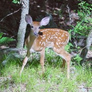 A recently published study found that firstborn male deer have comparatively high levels of testosterone, which may hurt their chances for survival.