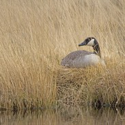 A group of hunters spent the weekend rebuilding goose nests in Utah.