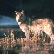 Rare ice bridges provide wolves with access across Lake Superior.