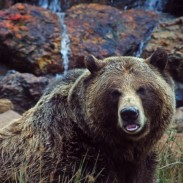 Yellowstone's grizzlies could be delisted as early as next year.