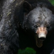 Florida lawmakers say that a limited hunt could make urban bear encounters less common.