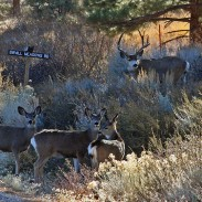 Move over pronghorn, mule deer are now the Lower 48's most accomplished travelers.