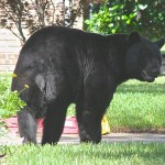 One Florida woman says she found a group of black bears outside her garage.