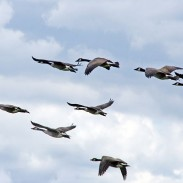 Canada geese are providing airport officials with more air traffic than they'd like.