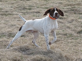 Essay contest awards fully trained bird dog.
