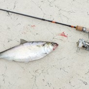The author took the 6-1/2-foot Daiwa Presso to task on hickory shad, and found it performed suitably well.