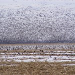 Snow geese and white-fronted geese fly out over a Dakota cornfield. Rapid conversion of land for farm and energy production is shrinking wildlife habitat in the Prairie Pothole region.