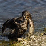 Although the majority of their diet consists of fish, cormorants do not have waterproof feathers and must dry them after every meal.