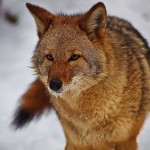Utah wildlife officials are currently determining whether targeted coyote removal means deer fawns have a better chance at survival.