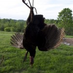 Arthur Farrell pursues a magnificent tom near his southern Tennessee cabin.
