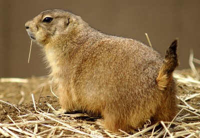 Prairie dogs are especially vulnerable to plague due to their densely-packed underground colonies.