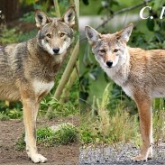 A side-by-side comparison of a red wolf (left) and a coyote (right).