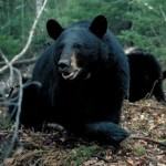Apply now for a shot at a Michigan black bear. Image courtesy Michigan DNR.