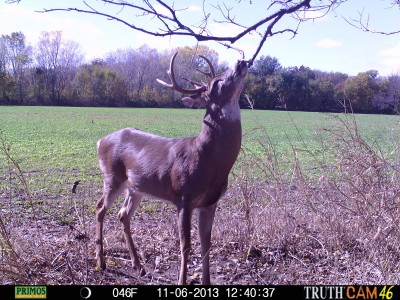 Seeing bucks out and about during daylight is a sure sign that the rut is in full swing. Furious rutting activity causes bucks to throw caution to the wind.