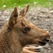 .moose calf